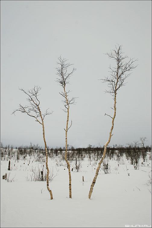 Три девицы ... - березы зима три небо горизонт никель фото фотосайт