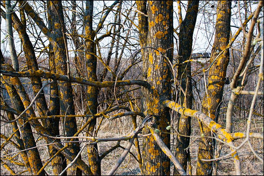 Болен весною - дерево лишай весна деревенское природа фото фотосайт