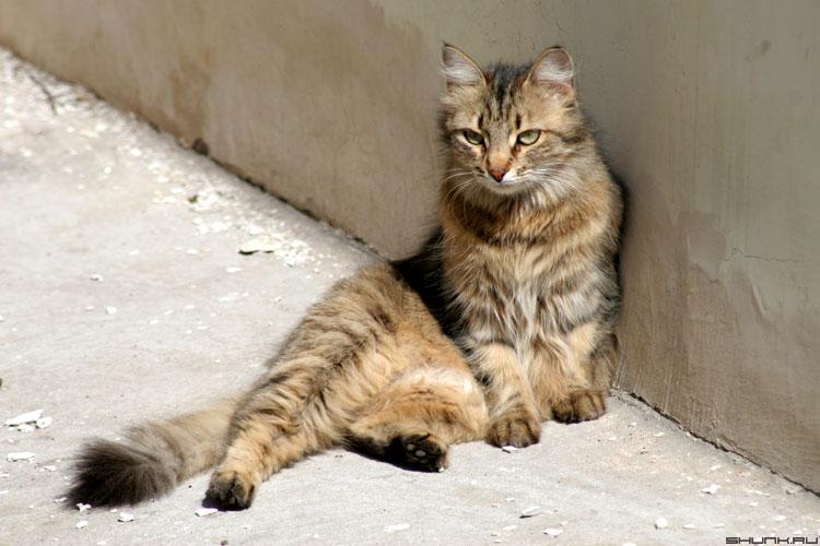 Кошак - кот в тени фото фотосайт