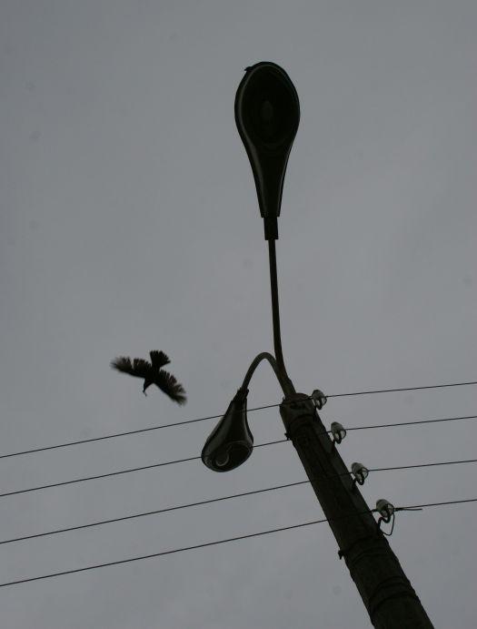 Каррычу посвящается - столб ворона провода фото фотосайт