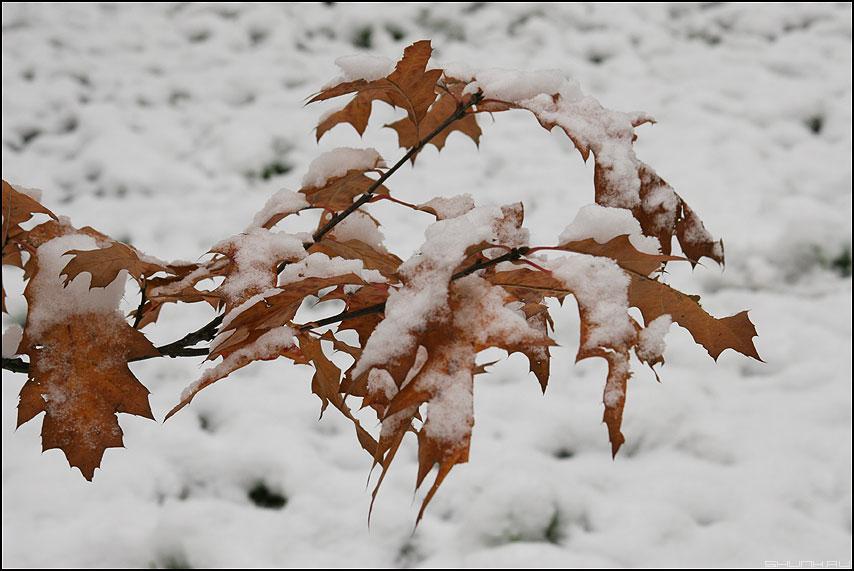 30.10.06 - выпал первый СНЕГ - листва снег первый 2006 ветка осень фото фотосайт