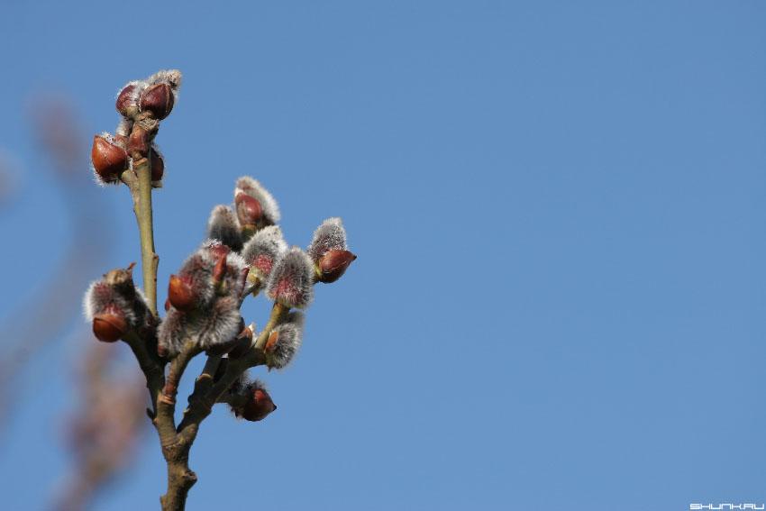 ...пришла. - весна почки ветки небо обои фото фотосайт