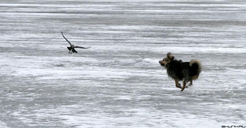 Крылья Лапы Хвост - собака лед ворона фото фотосайт
