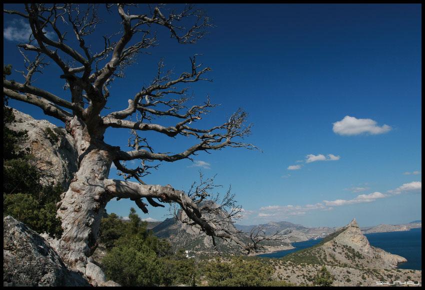 Цепляясь за небо - Крым дерево небо море фото фотосайт