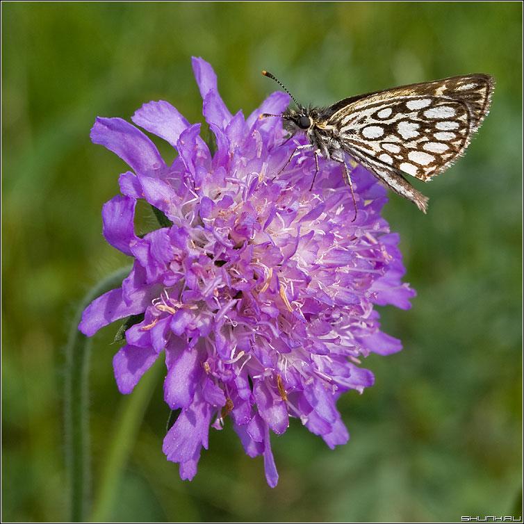 Экземпляр - бабочка на цветочке макросъемка макро фото фотосайт