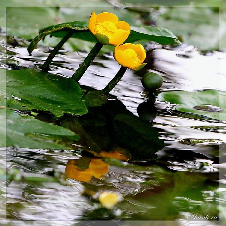 Рождении Лилии - лилии на болоте фото фотосайт