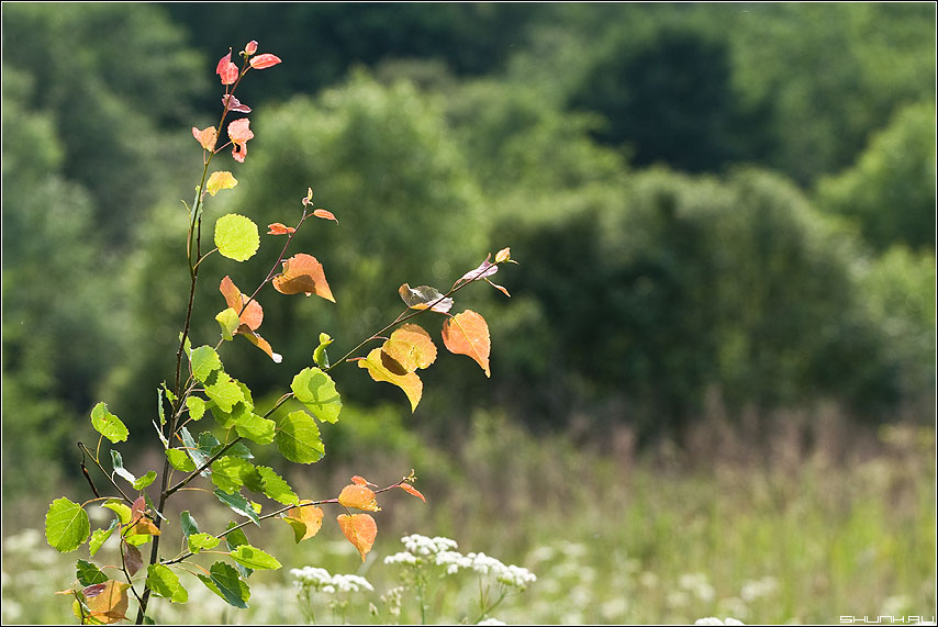 Цвета лета - поле березка разноцветная фото фотосайт