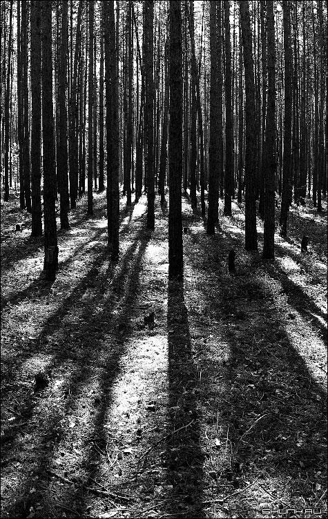Линии леса - лес чб сосны чернобелое фото черно-белое фото фотосайт