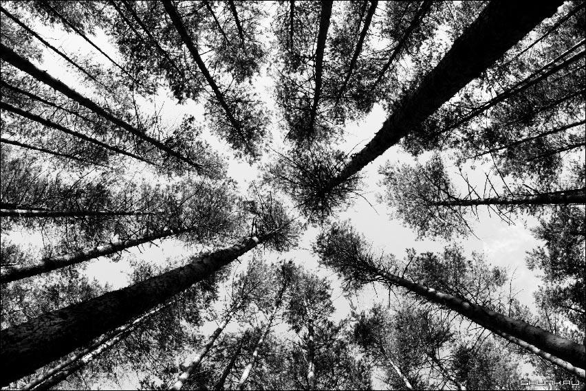 Взгляд гриба - сосны ветви лес чернобелое фото фото фотосайт