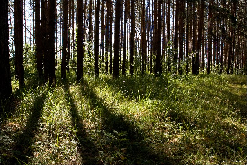 Лучи в сосновом лесу - лес сосны лучи света трава лето фото фотосайт