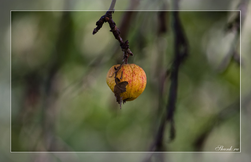 Что ж ты осень натворила... - яблоко на ветке конец лета фото фотосайт