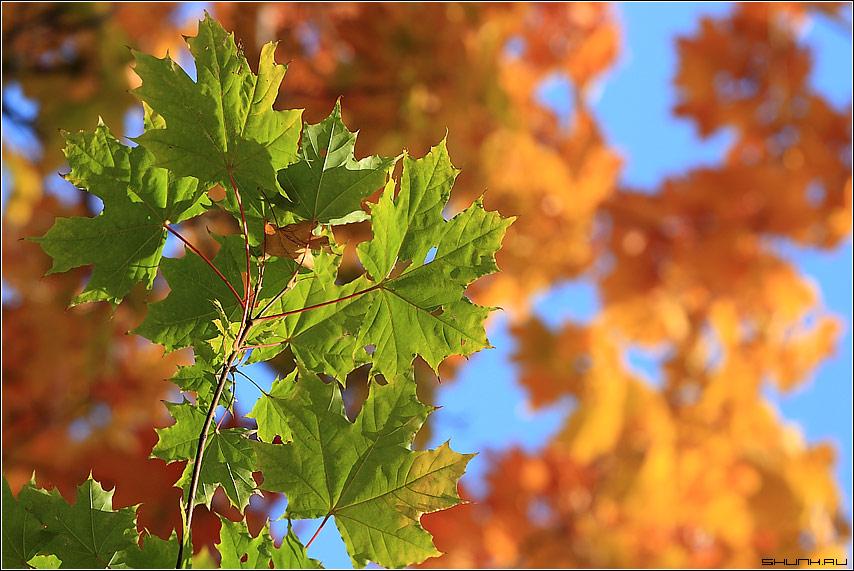 Палитра осени - листа осень небо клен обои фото фотосайт