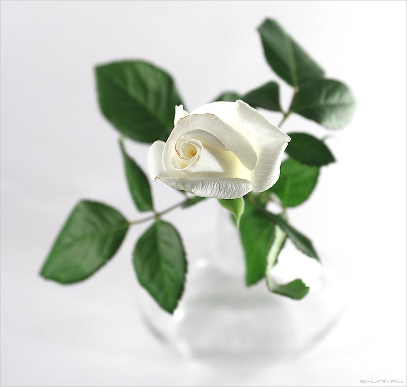 Немного розового - натюрморт бутылка белая роза фото фотосайт