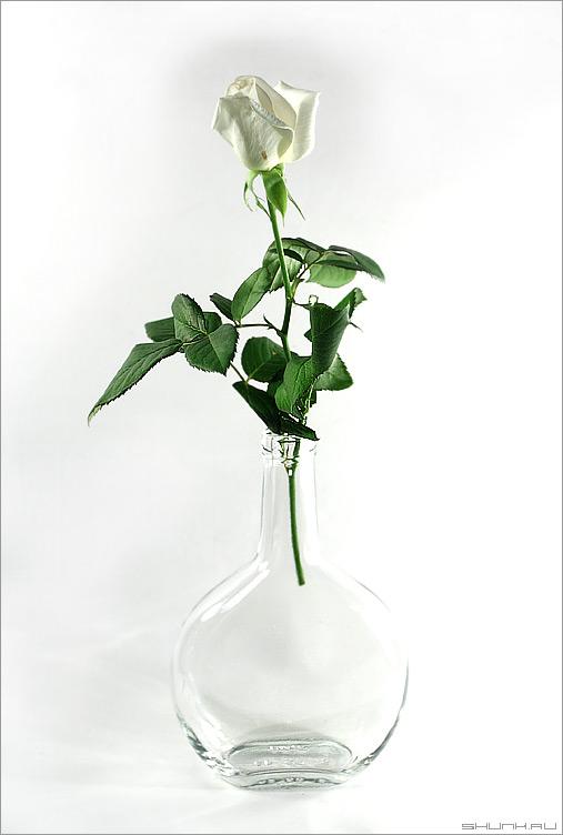 Роза в стакане - натюрморт белый фон бутылка роза белая фото фотосайт