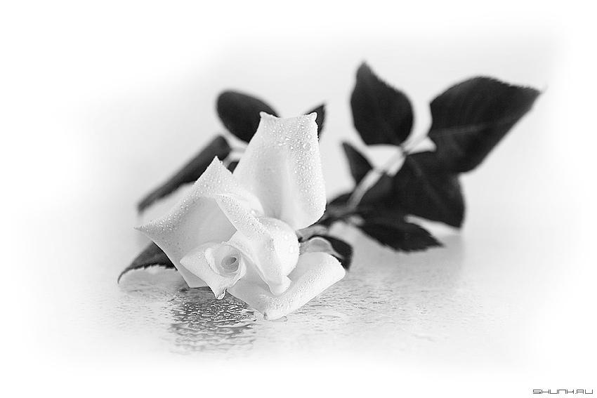 Роза - чб роза капельки натюрморт фото фотосайт