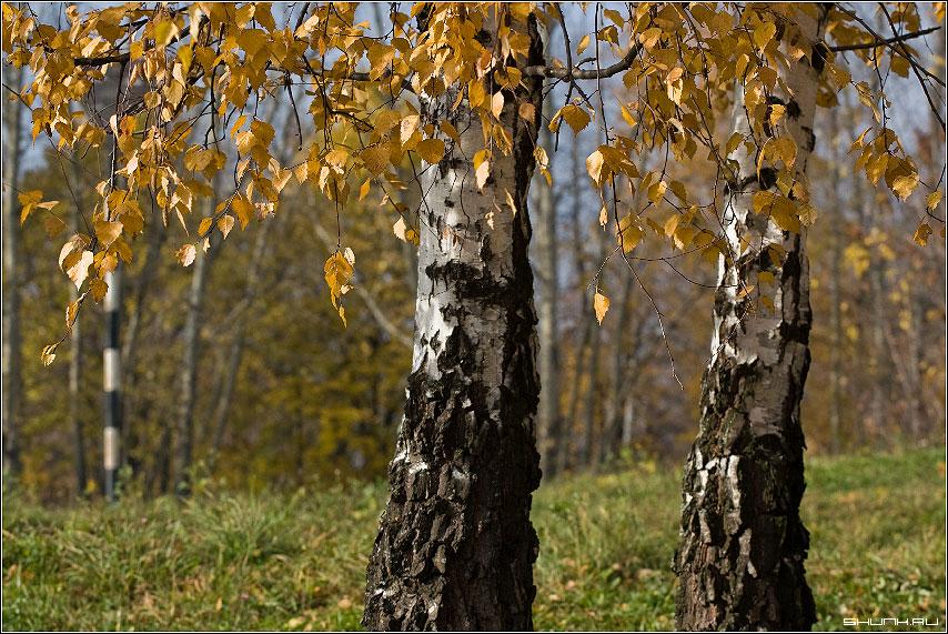 О любви - осень пара береза желтое листья листва осенняя пора фото фотосайт