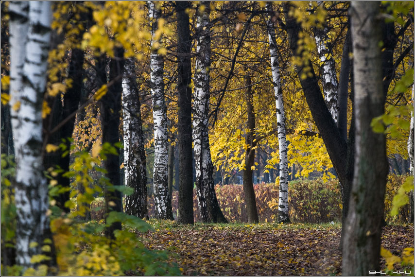Осенняя перспектива - осень листья желтые парк береза деревья фото фотосайт
