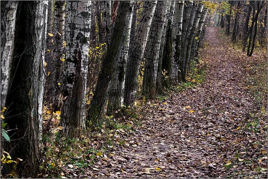 Осиновая роща - осень листья желтые парк осины деревья фото фотосайт