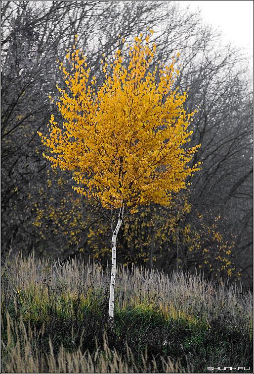 Про одиночество - осень береза желтые листья фото фотосайт