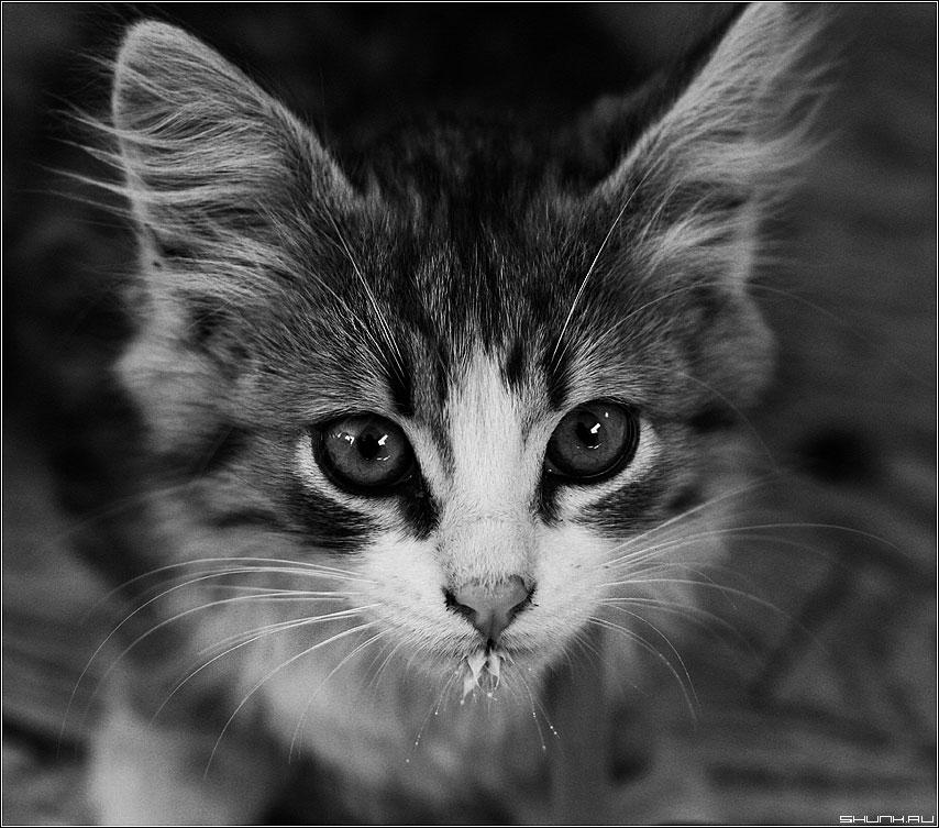 Черно-белый кот - чб чернобелое кот усы фото фотосайт.