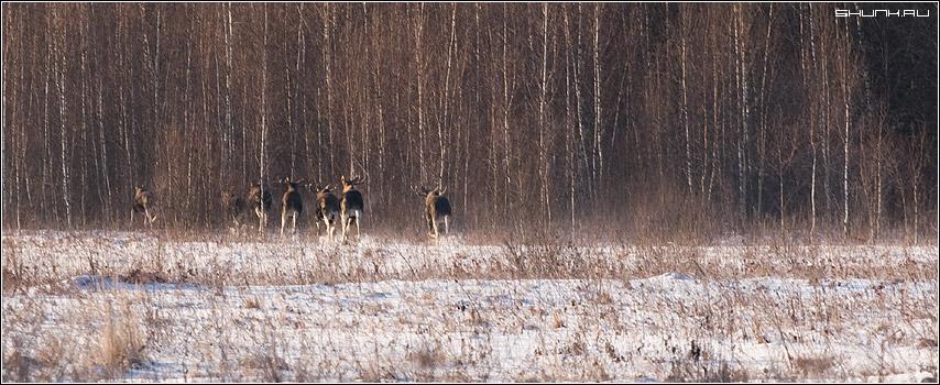 Лоси - лес поле лоси стадо зима январь фото фотосайт