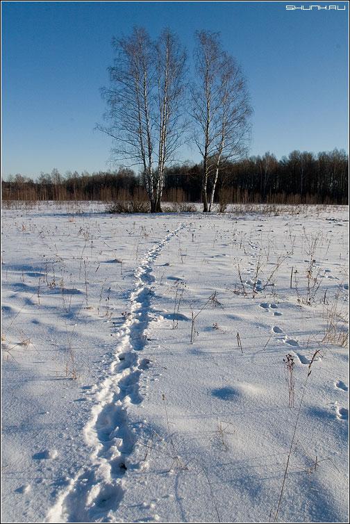 Кабанья тропа - поле береза кабаны зима следы снег фото фотосайт