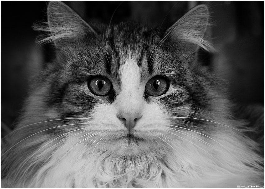 Кошак - кот чб черно белое глаза фото фотосайт