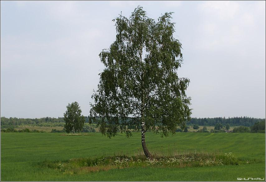 Во поле береза стояла - поле дерево береза зелень лето листва фото фотосайт