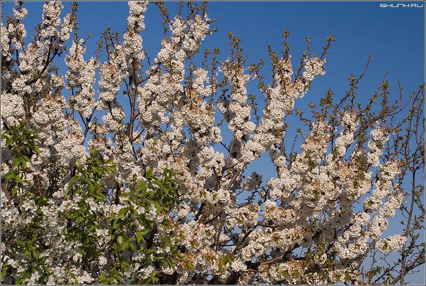 Всего один лишь только раз Цветут сады в душе у нас... - цвет куст крым сад запах фото фотосайт