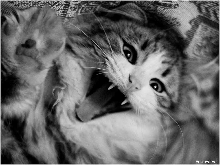 Мяв - кот чб чернобелое зубы фото фотосайт