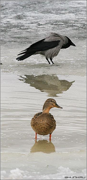 Басня: Ворона и утка. - ворона утка лед река весна отражение снег фото фотосайт