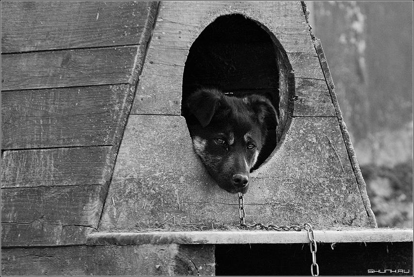 Собачья жизнь - цепь будка конура собака черно-белое фото фотосайт