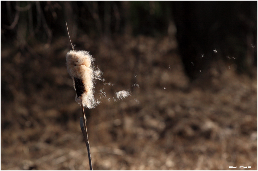 ПУХ - пух рогоз болото весна фото фотосайт