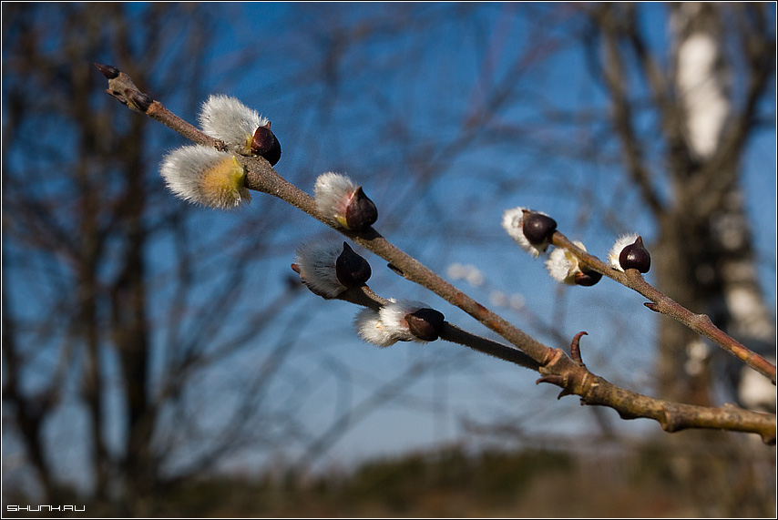 Однажды Весной. - весна почки ветви небо фото фотосайт