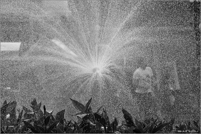 Полив - манежка полив цветы лето чб черно-белое фото фотосайт
