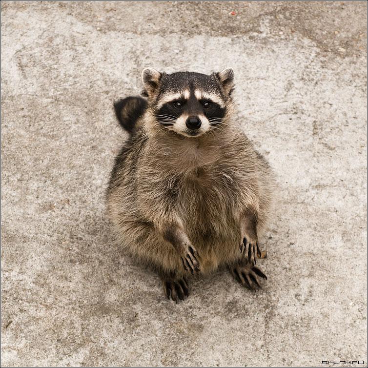 Полоскун - енот зоопарк квадрат фото фотосайт