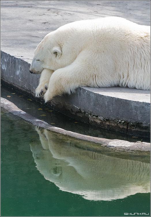 ...жалко их. - медведь зоопарк отражение неволя фото фотосайт