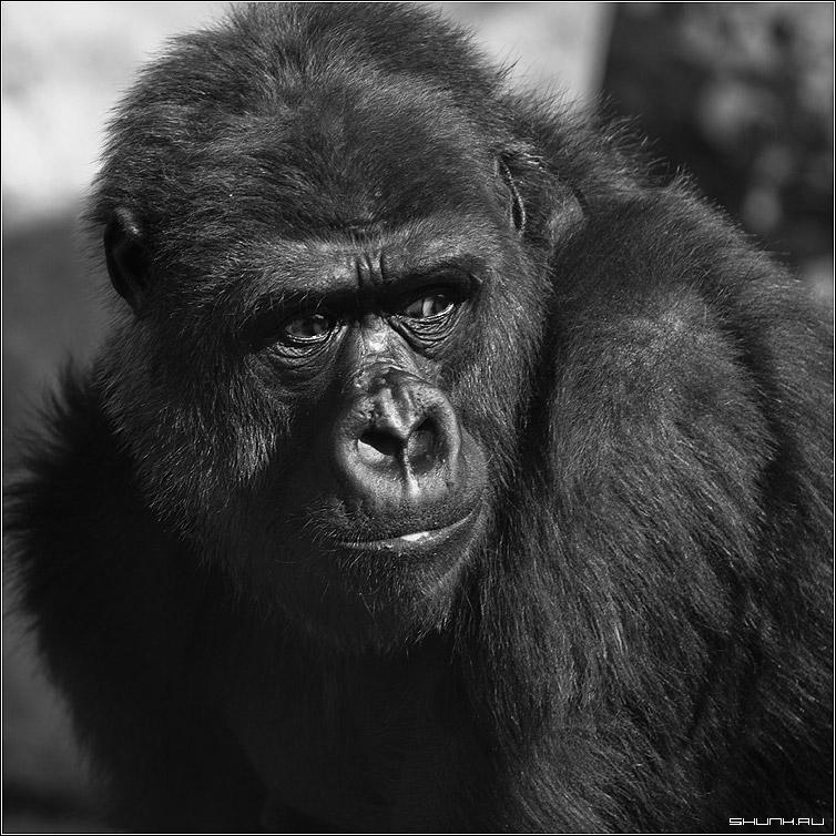 Обезьян - горилла зоопарк квадрат чб фото фотосайт