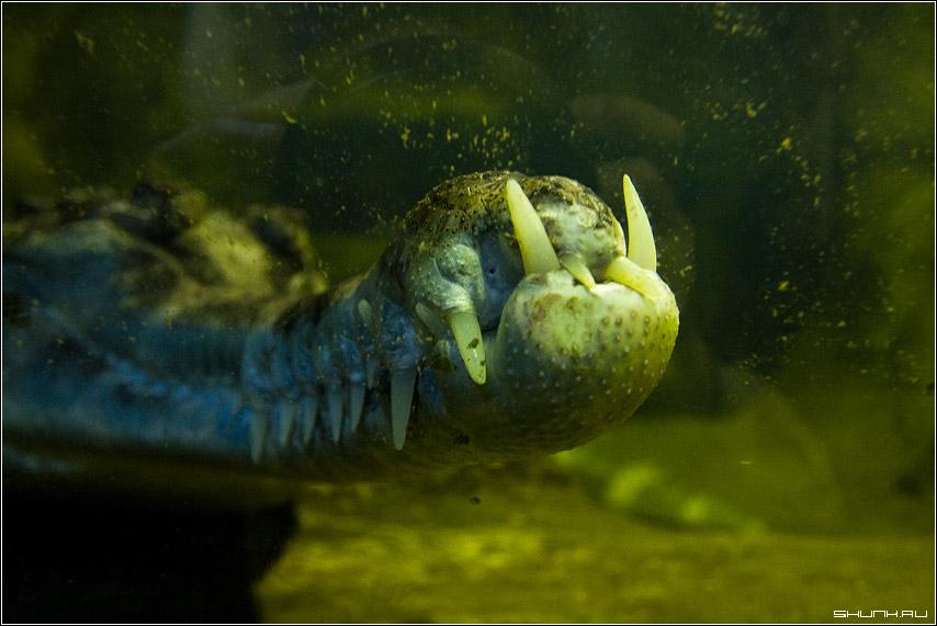 За стеклом - зубы крокодил зоопарк фото фотосайт