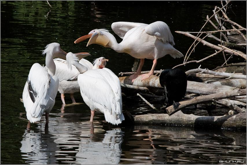 ЗооДебаты - зоопарк пеликаны фото фотосайт