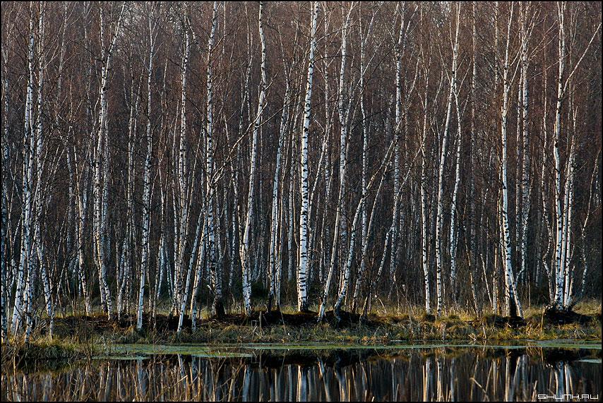 На болоте - болото береза отражение деревня фото фотосайт