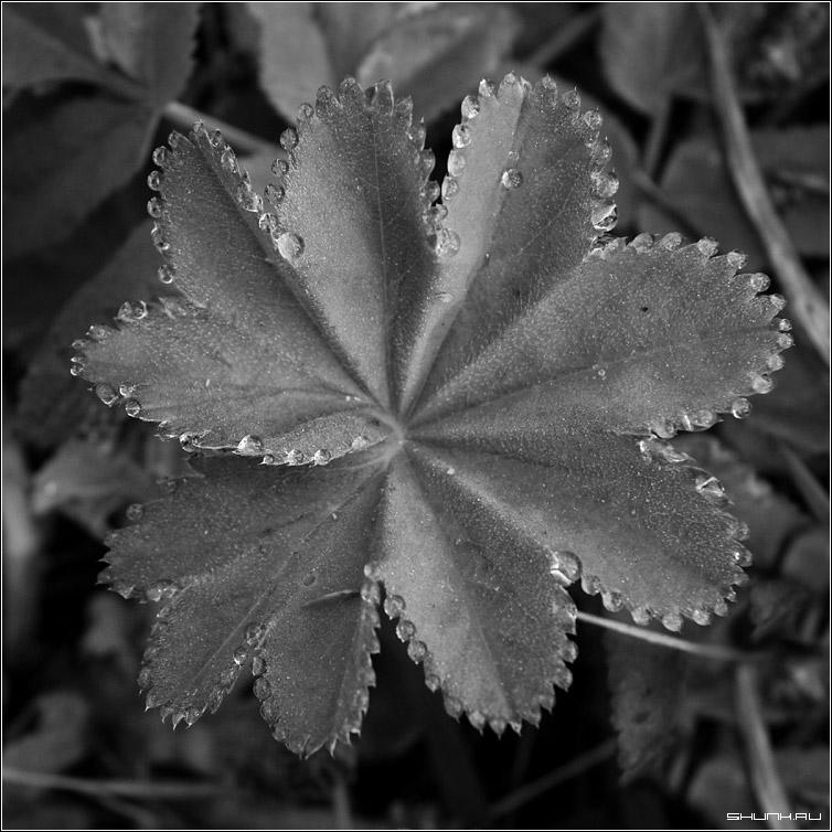 Капельки - утро роса лист чб квадрат капли вода фото фотосайт