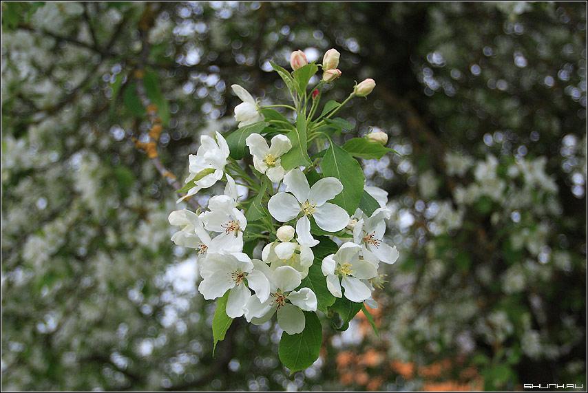 Яблоневый цвет - весна деревня яблоня китайка цветы цвет шарп фото фотосайт