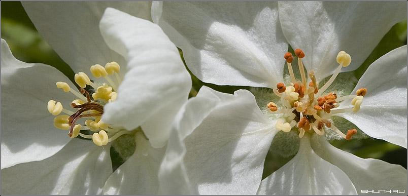 Ты моя тычинка, я твой нежный пестик - яблоня цвет макро тычинка пестик фото фотосайт