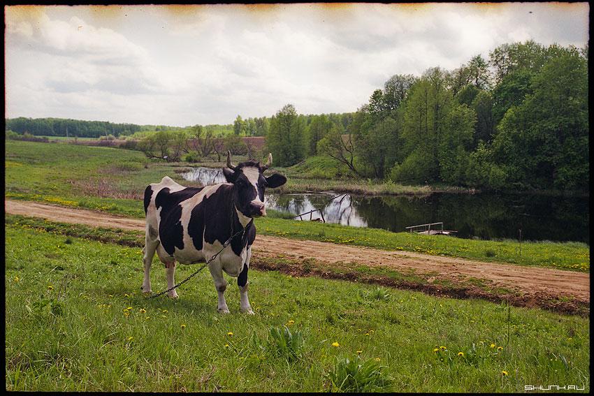 Коровко - пленка 17-40 superia деревня корова пруд зубово фото фотосайт