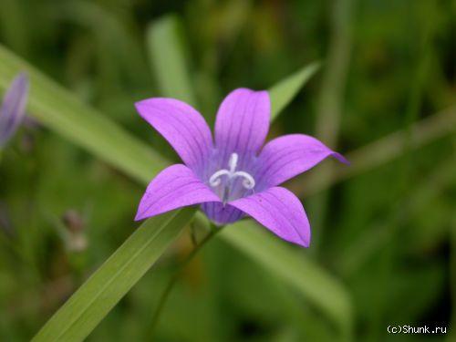 Цветочек - фиолетовый цветок лето фото фотосайт