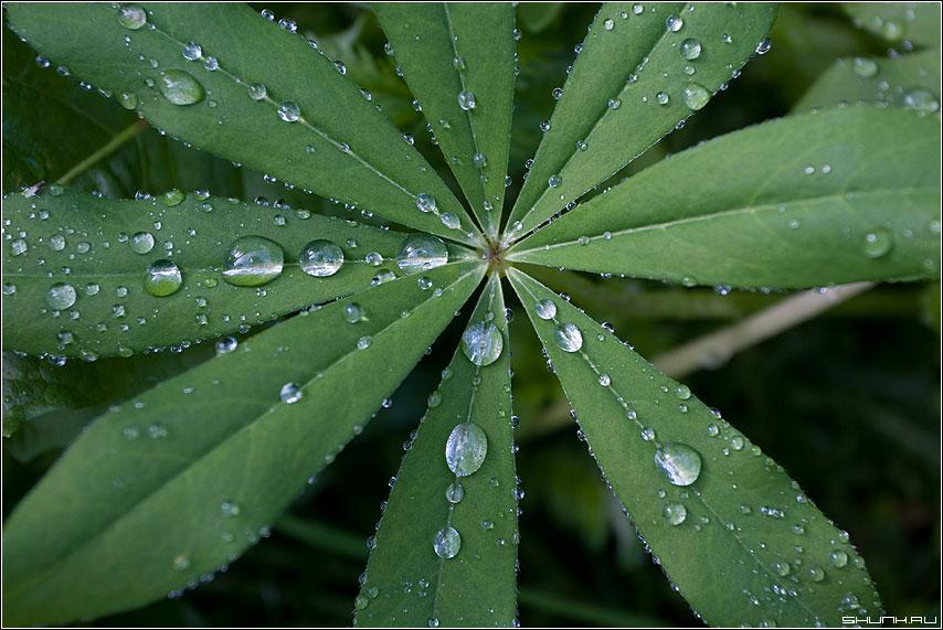 ЛЮПИНЫ - макро капли люпины листья зелень фото фотосайт