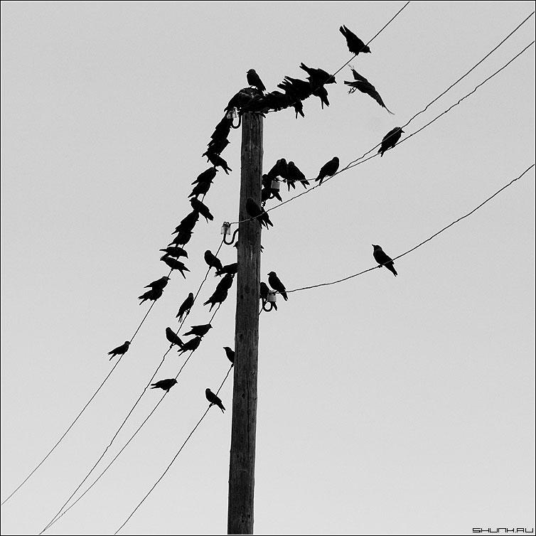Воронье - вороны галки провода деревня небо столб провода черно-белое квадрат фото фотосайт