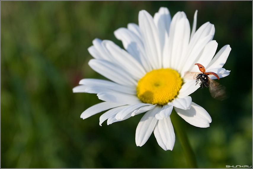 Это ЖЖЖЖ не с проста - божья коровка букаха макро ромашка взлет лето полет фото фотосайт