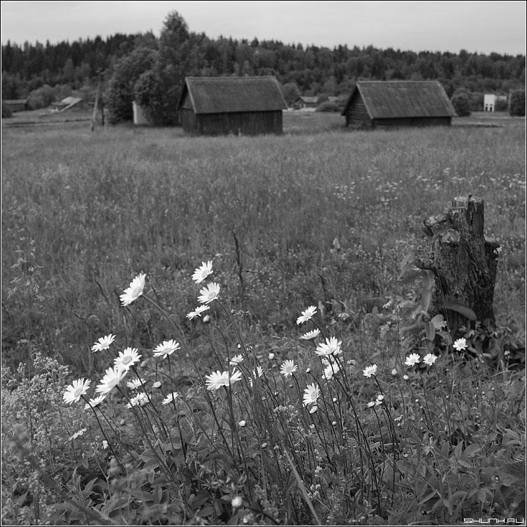 Привет, ромашки... - поле ромашки сарай деревня квадрат черное белое фото фотосайт